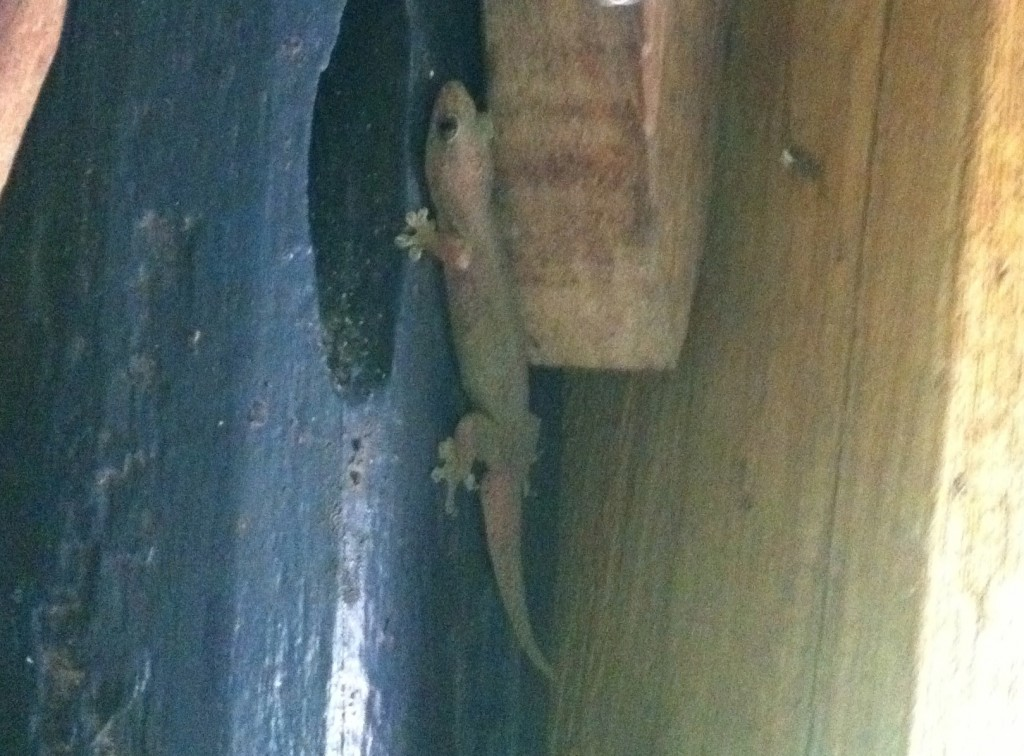I love geckos. They eat up all the annoying mosquitoes.