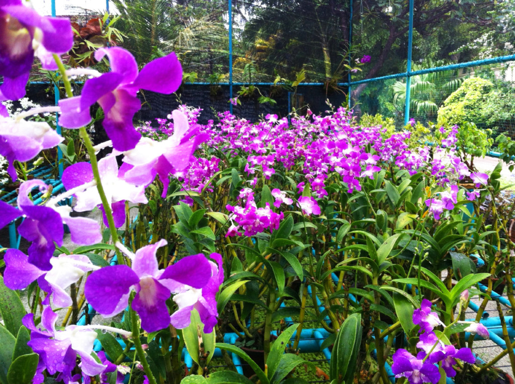 Beautiful purple orchids at Kurumba's Orchid Nursery