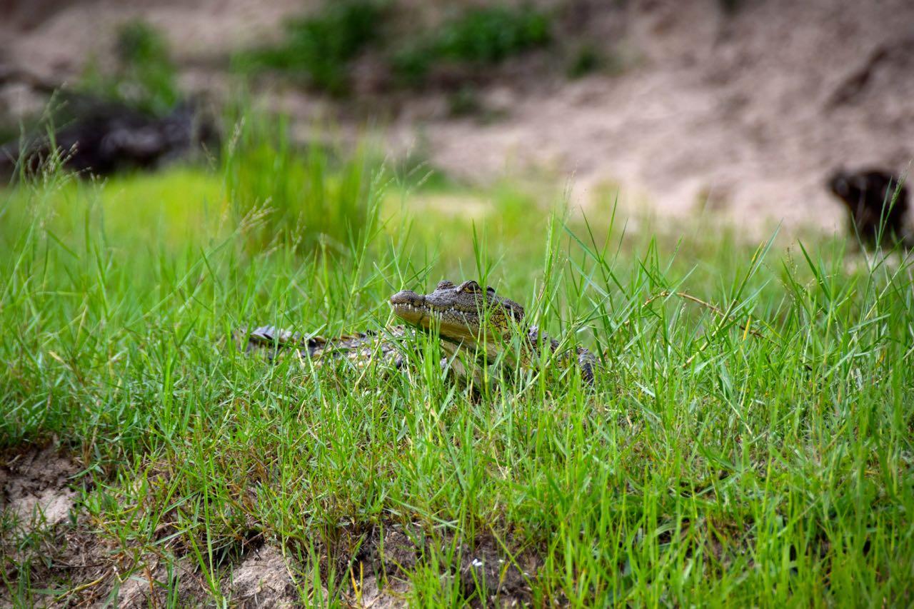 Zambezi River Cruise Baby Crocodile | World-Adventurer